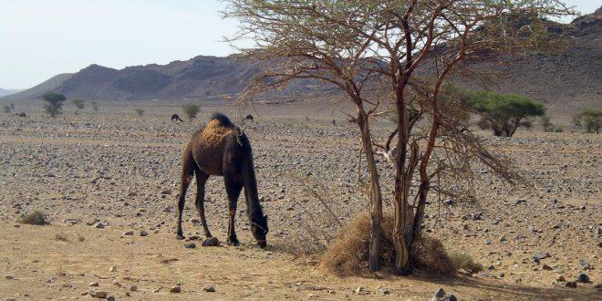 Camello comiendo en el desierto